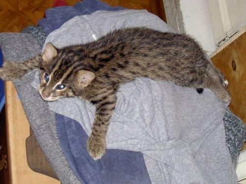 виверровые коты рыболовы цена