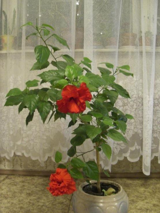 Китайская роза в домашних условиях видео